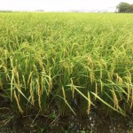 無農薬 玄米 おすすめ