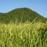 無農薬玄米の新米