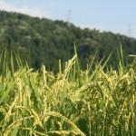 無農薬米ミルキークイーンと無農薬米こしひかりの田んぼの様子