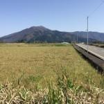 大野市の無農薬米の田んぼ