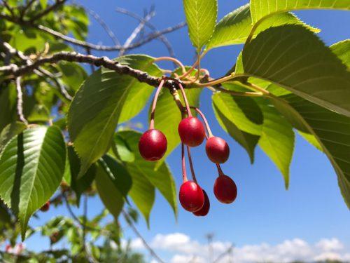 桜の実が真っ赤です。