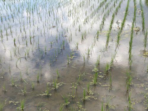 美味しいお米を栽培する三村さんの田んぼの様子
