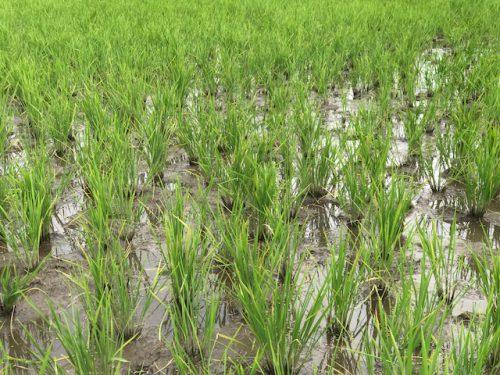 美味しいお米無農薬ミルキクイーン特選の田んぼの様子