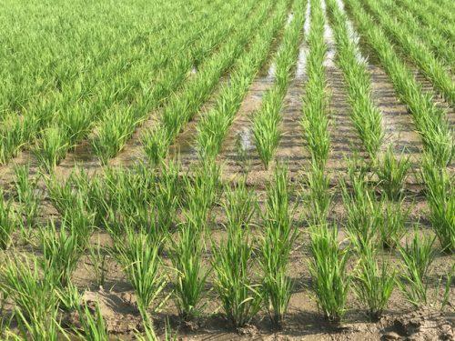 美味しいお米無農薬ミルキークイーン心の田んぼの様子