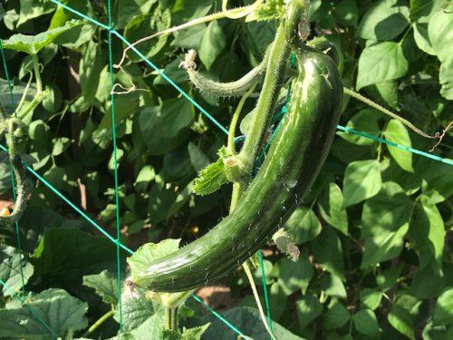 お店の裏の無農薬の畑で野菜が出来始めました♪
