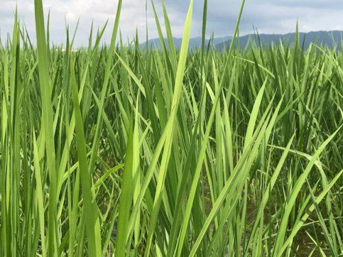 7月17日無農薬コシヒカリ匠の田んぼの様子