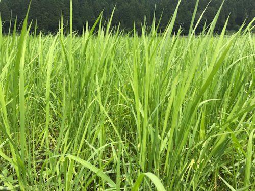 美味しいお米無農薬コシヒカリ極の田んぼの様子