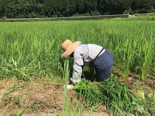 美味しいお米無農薬コシヒカリ極の田んぼの草取りの様子