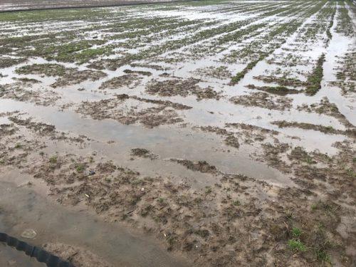 雨の無農薬米の田んぼ3月23日