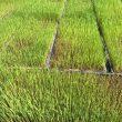 無農薬米の苗