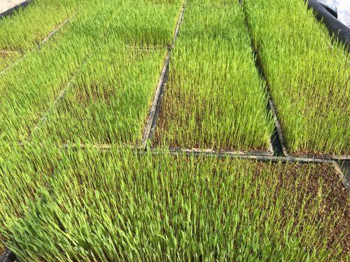無農薬米の芽が出てきました!!