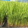 無農薬・無化学肥料栽培の苗
