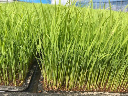 無農薬・無化学肥料栽培のお米の苗の様子