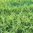 無農薬・無化学肥料栽培コシヒカリ匠の苗