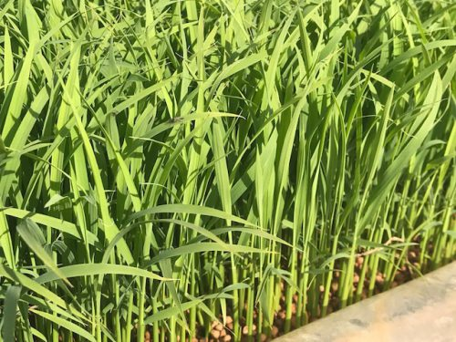 無農薬・無化学肥料栽培コシヒカリ匠の田んぼの様子5月11日