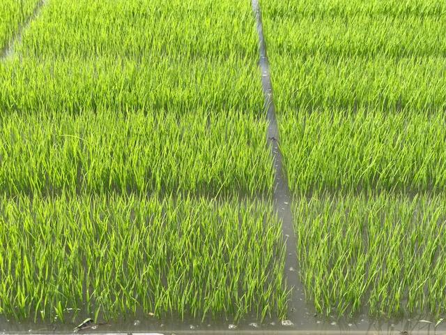 無農薬・無化学肥料栽培いのちの壱の育苗の様子