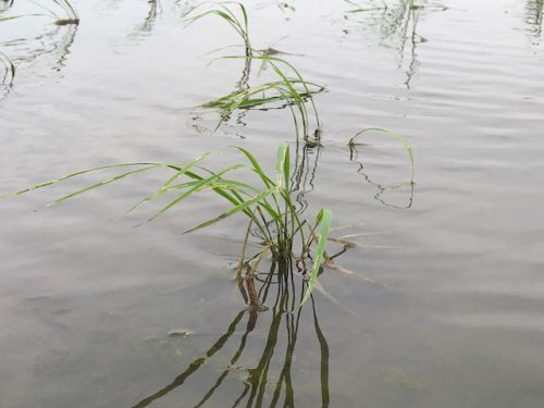 5月18日 無農薬・無化学肥料栽培ミルキークイーン特徴の田んぼの様子です♬