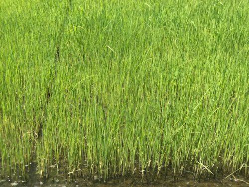 5月24日 無農薬・無化学肥料栽培 いのちの壱の苗の様子です。