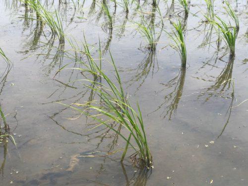 5月28日 無農薬・無化学肥料栽培 ミルキークイーン 特徴の田んぼの様子♪