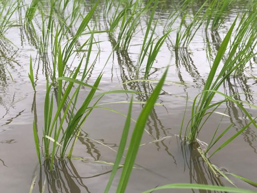 無農薬・無化学肥料栽培 ミルキークイーン 極の田んぼ 6月12日