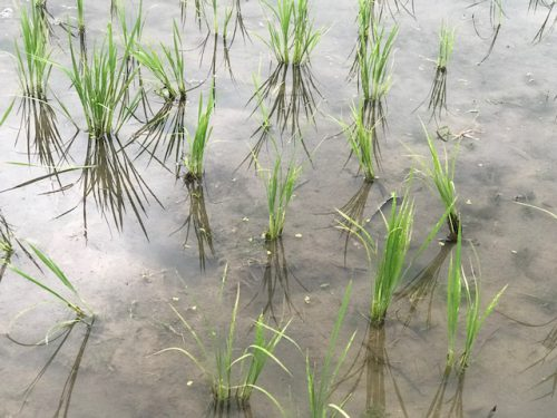 無農薬・無化学肥料栽培 ミルキークイーン 特選の田んぼ 6月20日