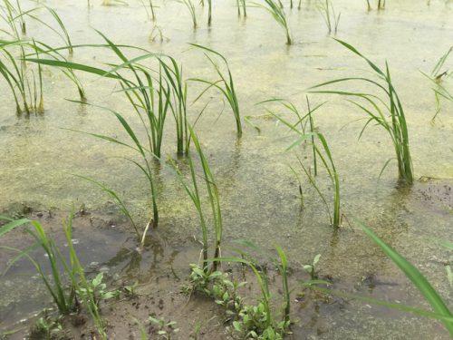 6月21日 無農薬・無化学肥料栽培 いのち壱 の田んぼの様子