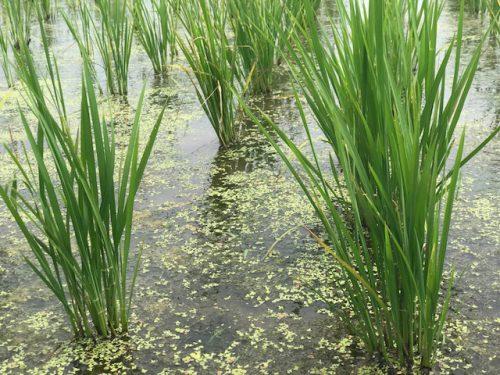 無農薬・無化学肥料栽培 ミルキークイーン 特選の田んぼの様子 6月21日