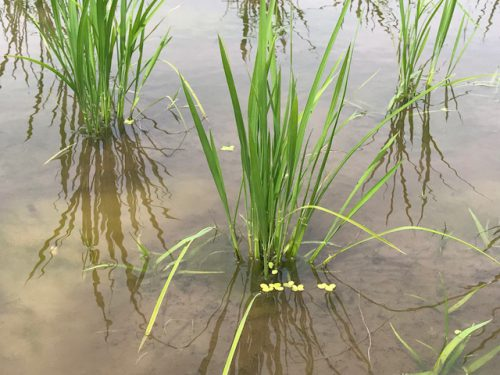 無農薬・無化学肥料栽培 ミルキークイーン 極の田んぼの様子 6月21日