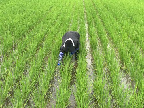 無農薬・無化学肥料栽培ミルキークイーン匠の草取りの様子 6月23日