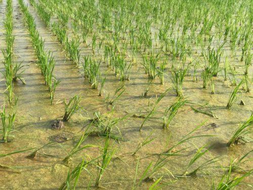 無農薬・無化学肥料栽培 いのちの壱 の田んぼの様子。 6月28日