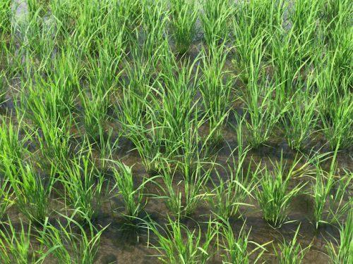 無農薬・無化学肥料栽培 ミルキークイーン 極 の田んぼ 6月28日