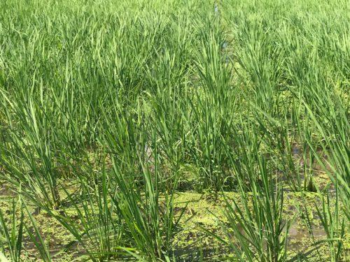 無農薬・無化学肥料栽培 コシヒカリ 匠 の田んぼ 7月2日