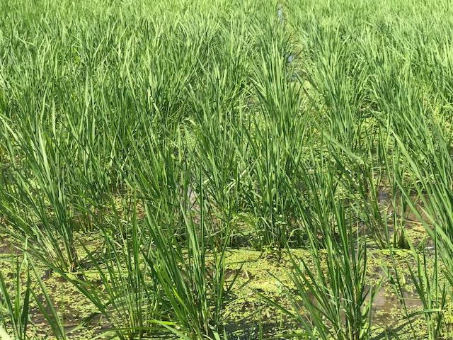 無農薬・無化学肥料栽培 コシヒカリ 匠 の田んぼ