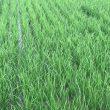 無農薬・無化学肥料栽培 ミルキークイーン 極 の田んぼ 7月6日