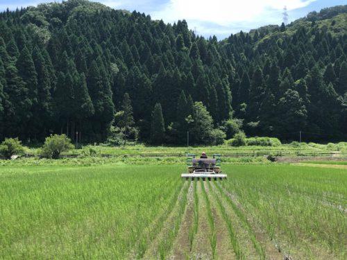 無農薬・無化学肥料栽培 コシヒカリ 極 のチェーン除草の様子