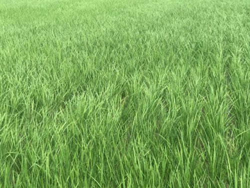 無農薬・無化学肥料栽培 ミルキークイーン 極 の田んぼの様子 7月9日