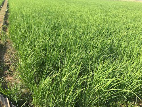 無農薬・無化学肥料栽培 ミルキークイーン 極 の田んぼ 7月18日