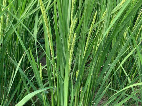 無農薬・無化学肥料栽培のミルキクイーン特選の田んぼの様子 7月29日