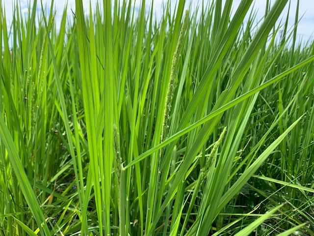 無農薬・無化学肥料栽培ミルキクイーン極