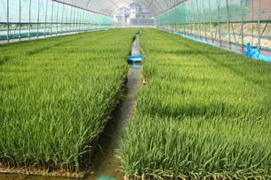 減農薬ミルキ−クイ−ン生産者三村さんの苗