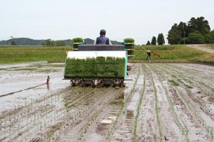 無農薬こしひかりの生産者大島さんの田植え風景